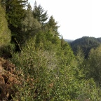 Observation Deck Loop: Henry Cowell State Park